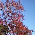 桜葉の真紅