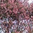 いい香り…桃色の花