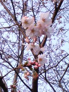 今年初♪桜の花♪