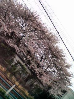 桜ひらひら…