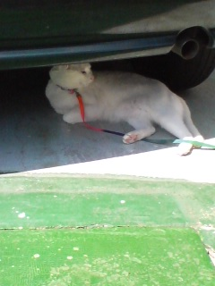 純白ネコちゃん