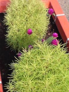 ほうき草に紫♪