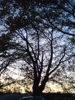 夕景の桜木