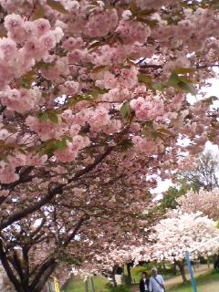 続いて…八重桜♪