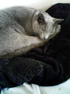 今朝も眠猫のカリン