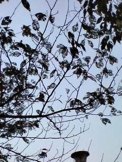 葉脈標本みたいな葉