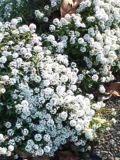 白い花が咲いてた