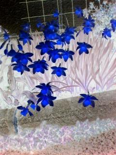 青い花が見たいなぁ♪