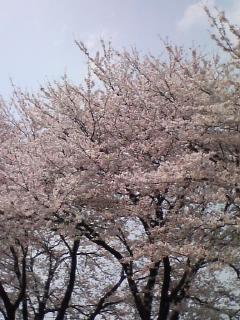 自家の窓から…桜見物