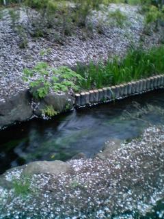 川岸は桜彩♪