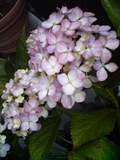 紫陽花…色々♪