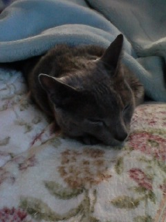 朝は毛布猫