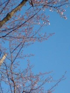 チラホラ咲き