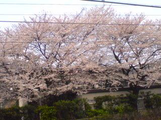 毎朝見てる桜の木