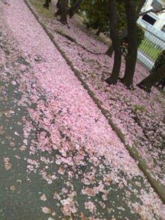 芝桜のような散り桜