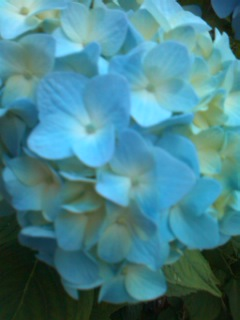 紫陽花の出番♪