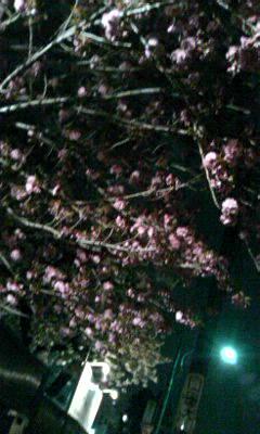 夜中の八重桜