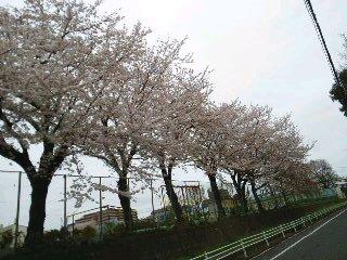 桜&夕焼け